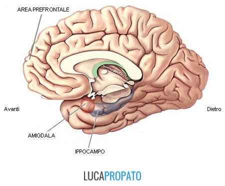 Amigdala, ippocampo, leadership